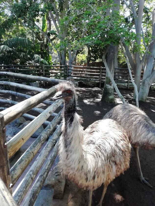 Emu in an enclosure in Jungle Park Tenerife