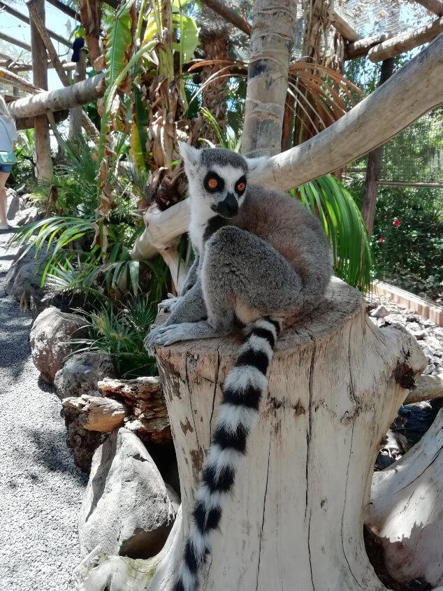 Lemur sat on a small tree stump in Jungle Park Tenerife